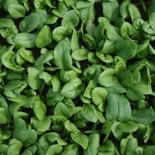 Espinaca Criolla Orgánica